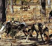 Wild dog pack hunting