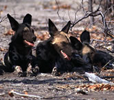 Wild dogs resting together